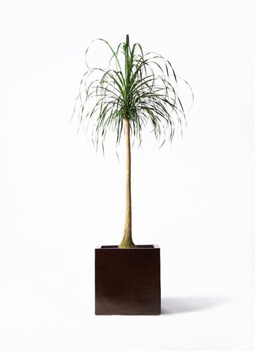 観葉植物 トックリラン ポニーテール 10号 MOKU キューブ 付き