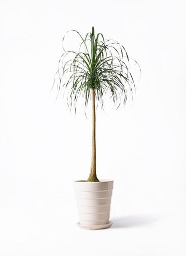 観葉植物 トックリラン ポニーテール 10号 サバトリア 白 付き