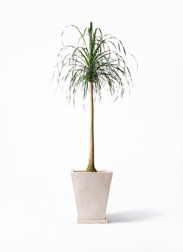 観葉植物 トックリラン ポニーテール 10号 スクエアハット 白 付き