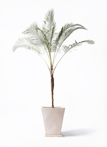 観葉植物 ヒメココス 10号 スクエアハット 白 付き