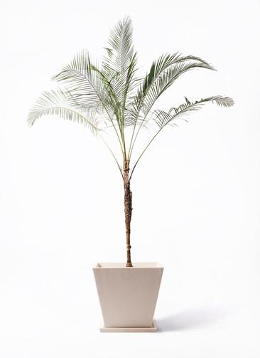 観葉植物 ヒメココス 10号 パウダーストーン 白 付き