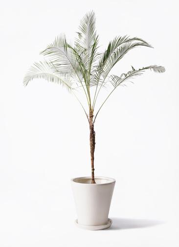 観葉植物 ヒメココス 10号 サブリナ 白 付き