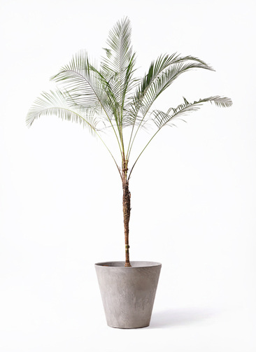 観葉植物 ヒメココス 10号 アートストーン ラウンド グレー 付き