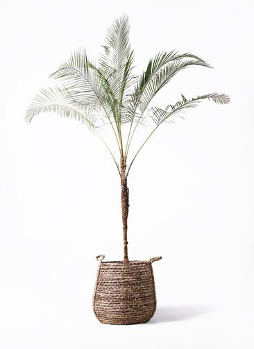 観葉植物 ヒメココス 10号 リゲル 茶 付き