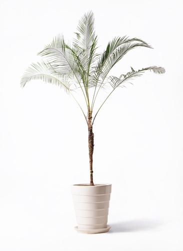 観葉植物 ヒメココス 10号 サバトリア 白 付き