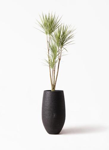 観葉植物 コンシンネ ホワイポリー 8号 ストレート フォンティーヌトール 黒 付き