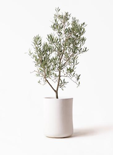 観葉植物 オリーブの木 8号 デルモロッコ バスク ミドル ホワイト 付き