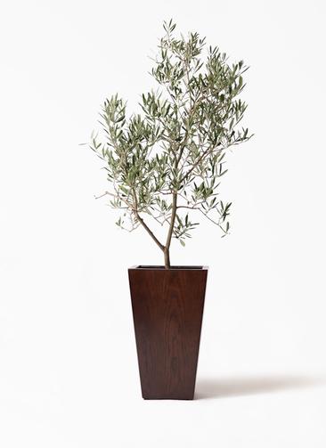 観葉植物 オリーブの木 8号 デルモロッコ MOKU スクエア 付き