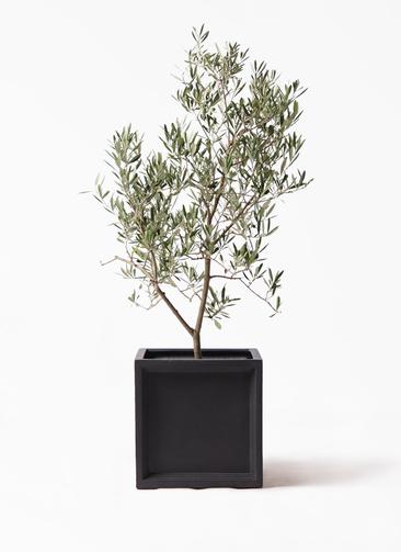 観葉植物 オリーブの木 8号 デルモロッコ ブリティッシュキューブ 付き