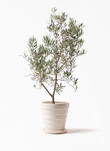 観葉植物 オリーブの木 8号 デルモロッコ サバトリア 白 付き