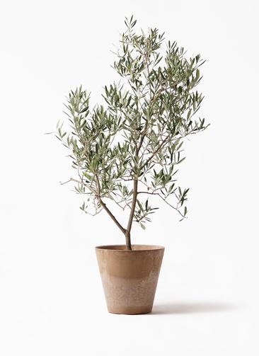 観葉植物 オリーブの木 8号 デルモロッコ アートストーン ラウンド ベージュ 付き