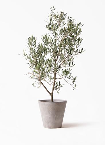 観葉植物 オリーブの木 8号 デルモロッコ アートストーン ラウンド グレー 付き