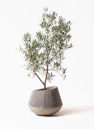 観葉植物 オリーブの木 8号 デルモロッコ エディラウンド グレイ 付き