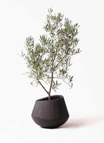観葉植物 オリーブの木 8号 デルモロッコ エディラウンド 黒 付き