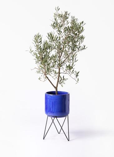 観葉植物 オリーブの木 8号 デルモロッコ ビトロ エンデカ 鉢カバースタンド付 ブルー 付き