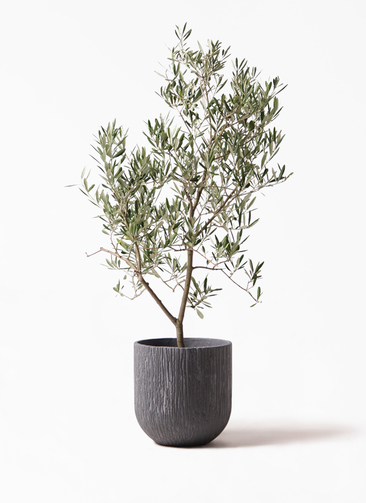 観葉植物 オリーブの木 8号 デルモロッコ カルディナダークグレイ 付き
