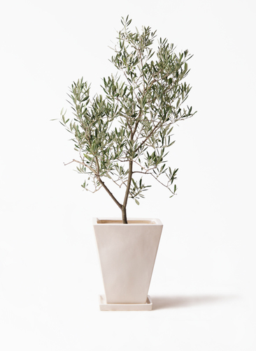 観葉植物 オリーブの木 8号 デルモロッコ スクエアハット 白 付き