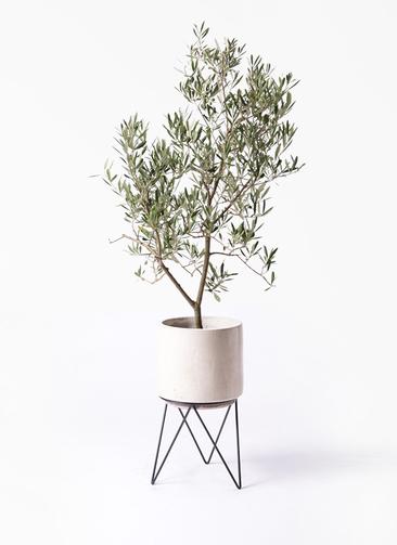 観葉植物 オリーブの木 8号 デルモロッコ ビトロ エンデカ 鉢カバースタンド付 クリーム 付き
