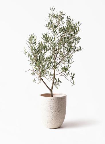 観葉植物 オリーブの木 8号 デルモロッコ ビアスアルトエッグ 白 付き