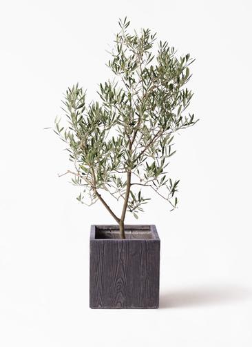 観葉植物 オリーブの木 8号 デルモロッコ ベータ キューブプランター ウッド 茶 付き
