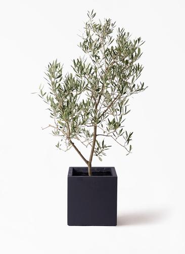 観葉植物 オリーブの木 8号 デルモロッコ ベータ キューブプランター 黒 付き