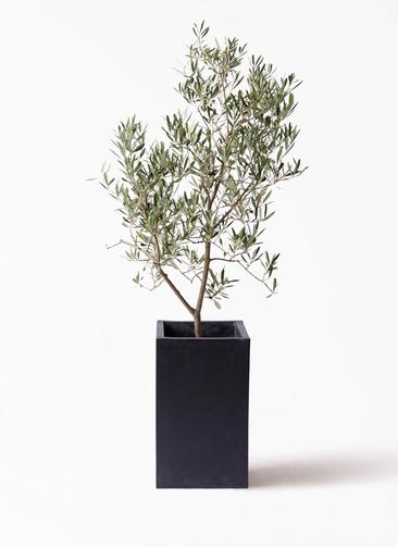 観葉植物 オリーブの木 8号 デルモロッコ セドナロング 墨 付き