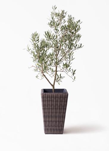 観葉植物 オリーブの木 8号 デルモロッコ ウィッカーポット スクエアロング OT 茶 付き