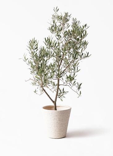 観葉植物 オリーブの木 8号 デルモロッコ ビアスソリッド 白 付き