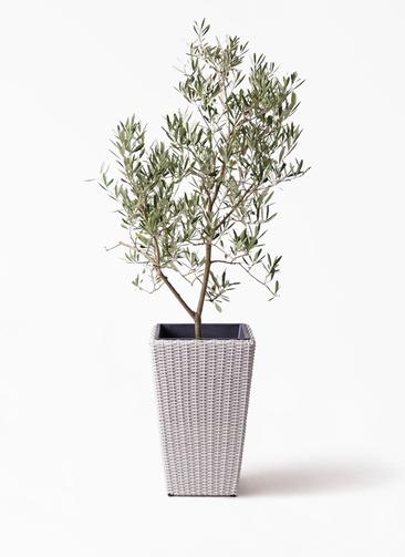 観葉植物 オリーブの木 8号 デルモロッコ ウィッカーポット スクエアロング OT 白 付き