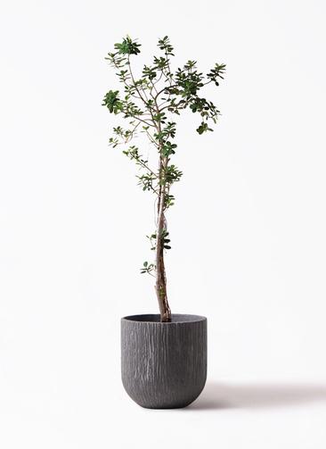 観葉植物 ガジュマル 8号 パンダ カルディナダークグレイ 付き