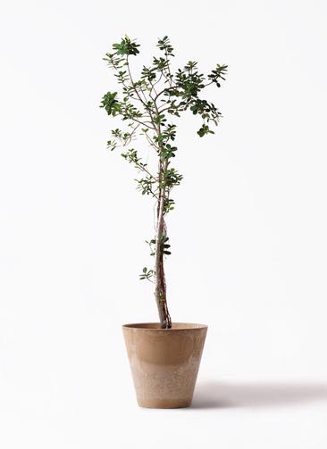 観葉植物 ガジュマル 8号 パンダ アートストーン ラウンド ベージュ 付き