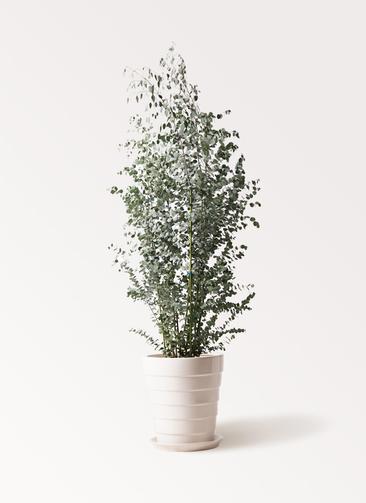 観葉植物 ユーカリ 10号 グニー サバトリア 白 付き