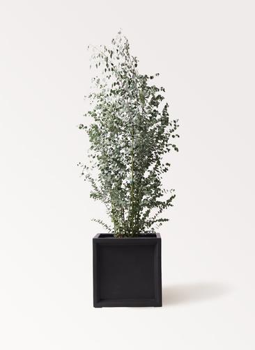 観葉植物 ユーカリ 10号 グニー ブリティッシュキューブ 付き