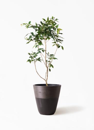 観葉植物 アマゾンオリーブ (ムラサキフトモモ) 10号 ジュピター 黒 付き
