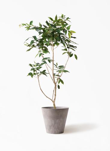 観葉植物 アマゾンオリーブ (ムラサキフトモモ) 10号 アートストーン ラウンド グレー 付き