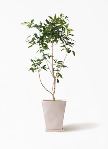 観葉植物 アマゾンオリーブ (ムラサキフトモモ) 10号 スクエアハット 白 付き