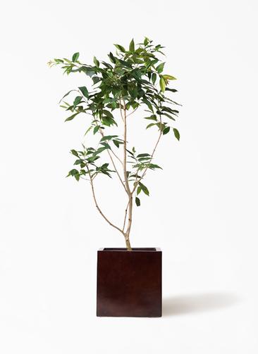 観葉植物 アマゾンオリーブ (ムラサキフトモモ) 10号 MOKU キューブ 付き