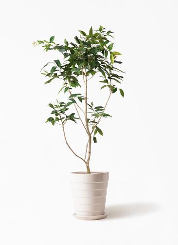 観葉植物 アマゾンオリーブ (ムラサキフトモモ) 10号 サバトリア 白 付き