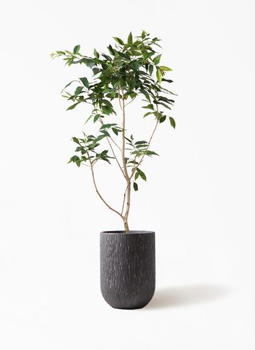 観葉植物 アマゾンオリーブ (ムラサキフトモモ) 10号 カルディナトールダークグレイ 付き