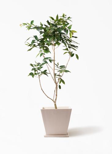 観葉植物 アマゾンオリーブ (ムラサキフトモモ) 10号 パウダーストーン 白 付き