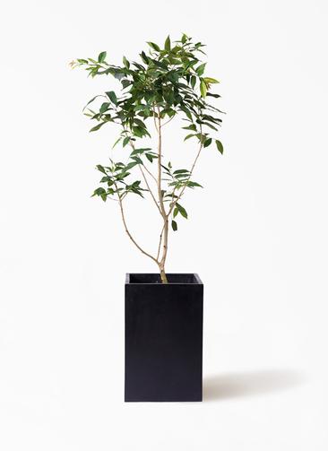 観葉植物 アマゾンオリーブ (ムラサキフトモモ) 10号 セドナロング 墨 付き