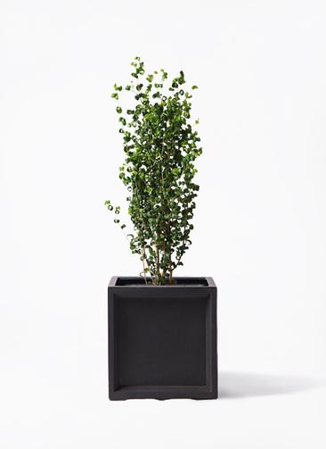 観葉植物 フィカス ベンジャミン 7号 バロック ブリティッシュキューブ 付き