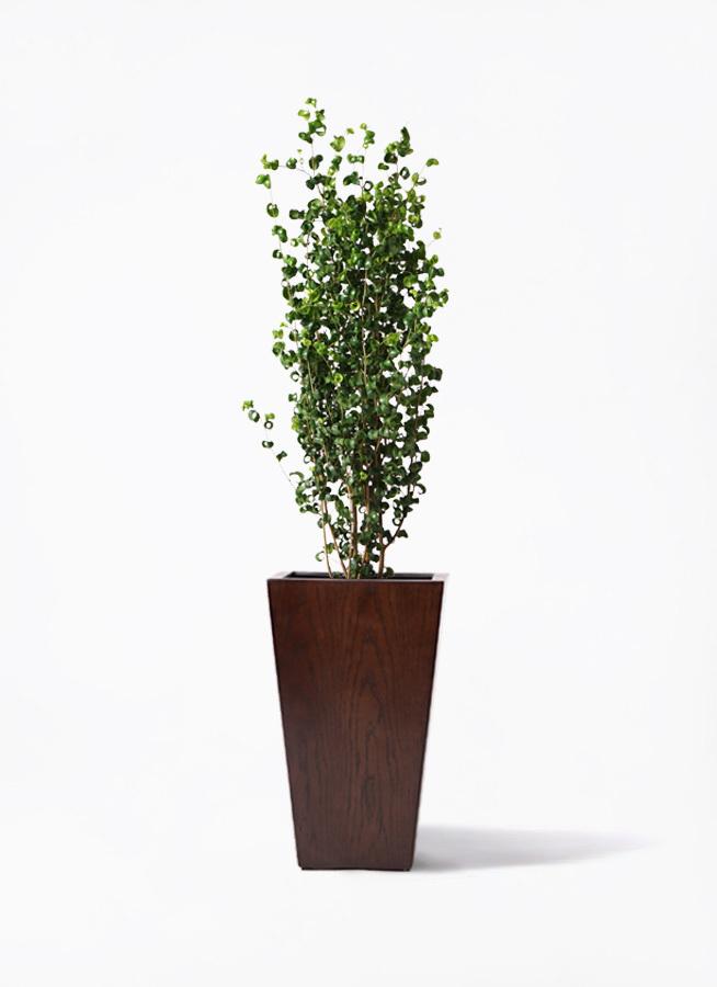 観葉植物 フィカス ベンジャミン 7号 バロック MOKU スクエア 付き