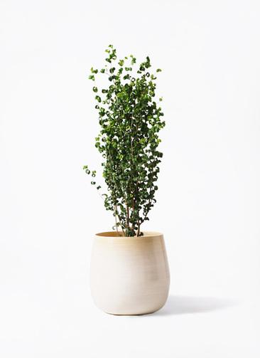 観葉植物 フィカス ベンジャミン 7号 バロック ササール 白 付き