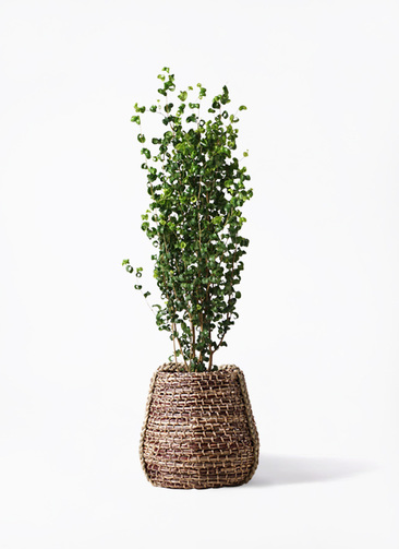 観葉植物 フィカス ベンジャミン 7号 バロック リゲル 茶 付き