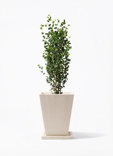 観葉植物 フィカス ベンジャミン 7号 バロック パウダーストーン 白 付き