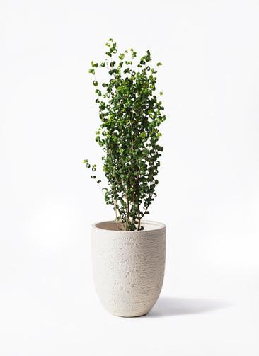 観葉植物 フィカス ベンジャミン 7号 バロック ビアスアルトエッグ 白 付き