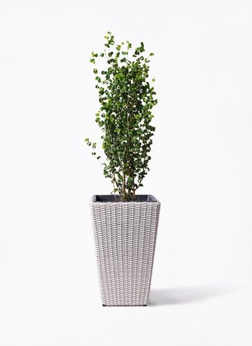観葉植物 フィカス ベンジャミン 7号 バロック ウィッカーポット スクエアロング OT 白 付き