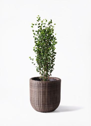 観葉植物 フィカス ベンジャミン 7号 バロック ウィッカーポットエッグ 茶 付き