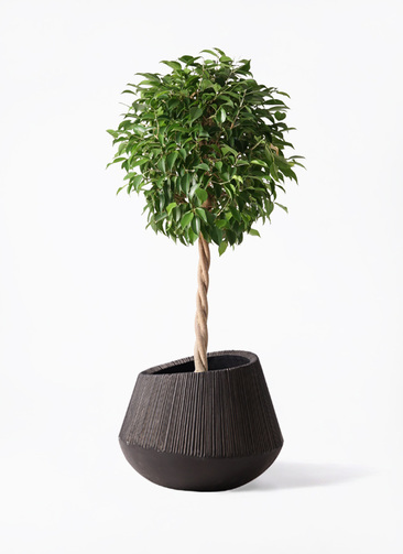 観葉植物 フィカス ベンジャミン 8号 玉造り エディラウンド 黒 付き